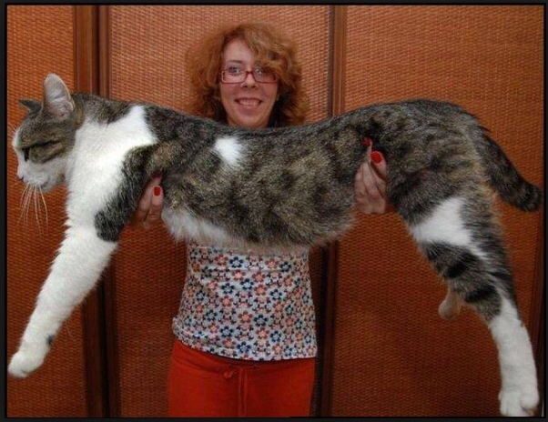 Ce chat est énorme, à tel point que je pense que c'est un trucage